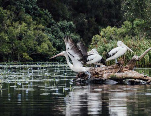 Birdlife of Lake Weyba